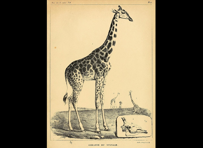 Giraffe du Sennaar - Langlumé - Atlas vol. 10, 11 and 12, BNF