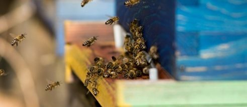 Bees are one of the most important production animals, outstripped only be cows and pigs.