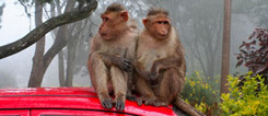 Odd stowaways: In Bangalore these monkeyshines are not an uncommon sight.
