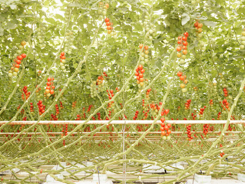 "Projekt ""The Third Day"": Tomatenrispen in Middenmeer, Niederlande"