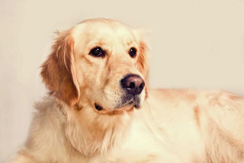 Platz 5 – Golden Retriever