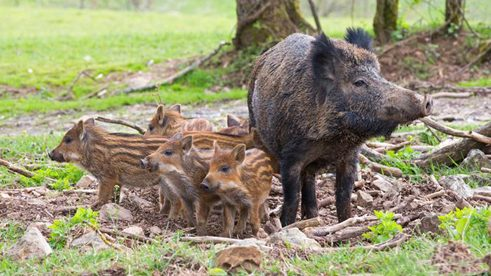 African swine fever is mainly spread by wild boars