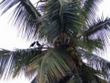 crows on palm