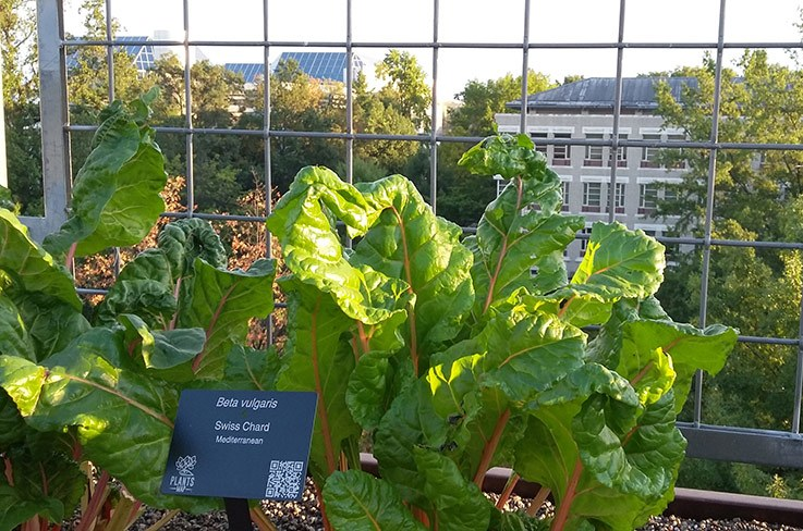 Swiss chard growing in UDC's rooftop farm.