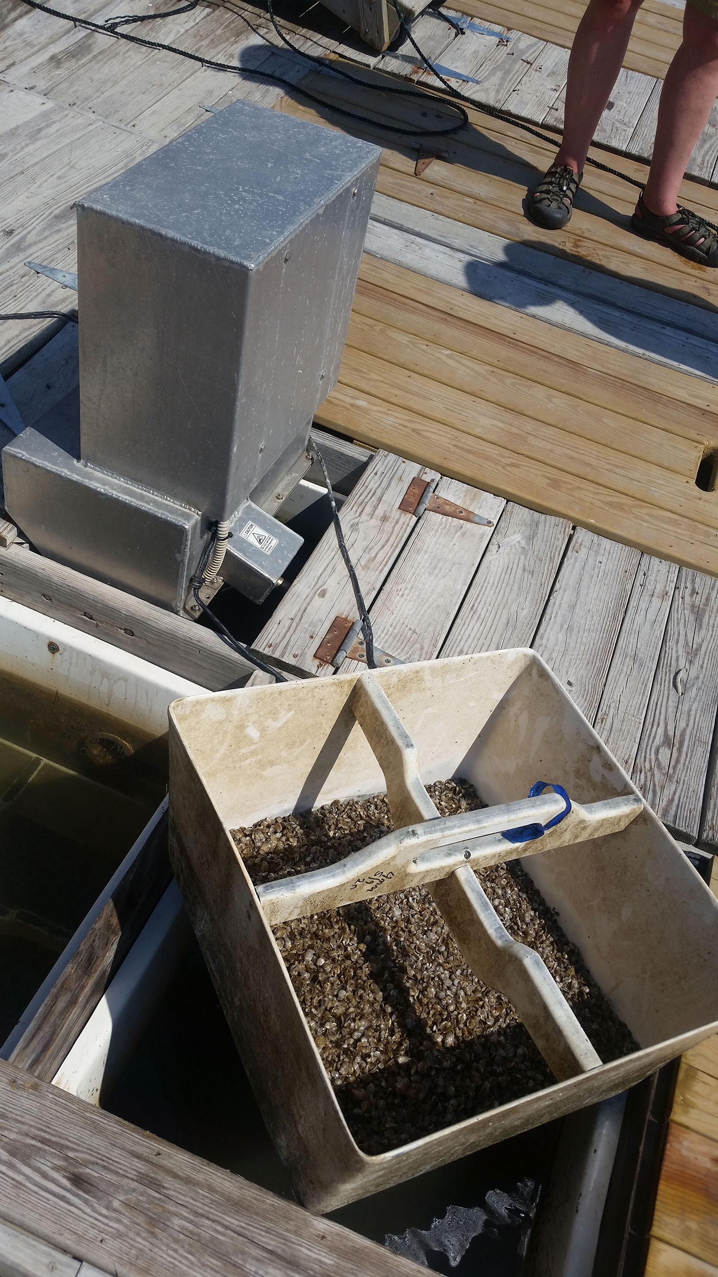 Juvenile oysters in floating upweller container