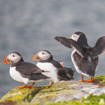 Puffins in Witless Bay