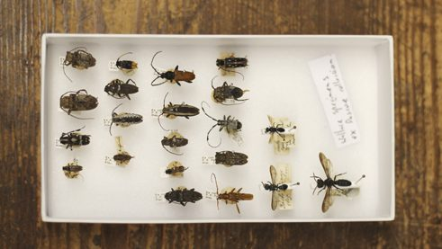 Insects originating from Southeast Asia, collected by Alfred Russel Wallace.