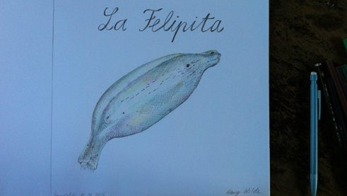 Drawing of the Felipita banana variety by Antonia Baehr.