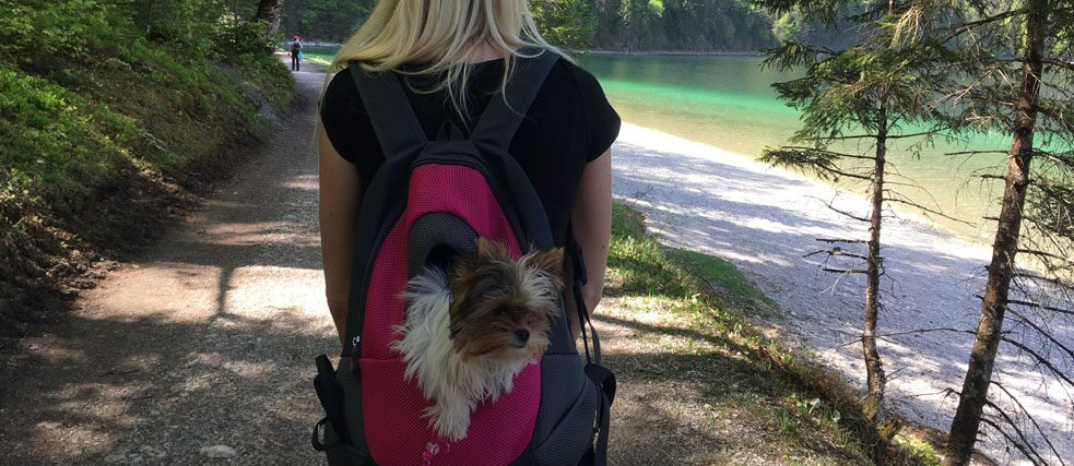 A small dog looks out of a backpack on a hike.