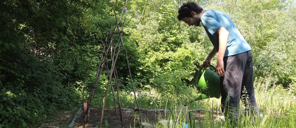 A young man watering a vegetable patch in an allotment garden.