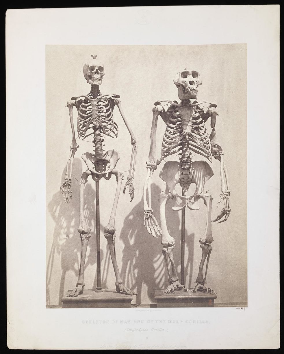 Roger Fenton, Skeleton of Man and of the Male Gorilla. London, ca. 1855