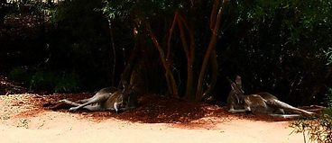 Kangaroos sensibly lounging in the shade while humans trudge through Healsville Sanctuary in the midday sun.
