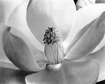 Magnolia Blossom by Imogen Cunningham, 1925