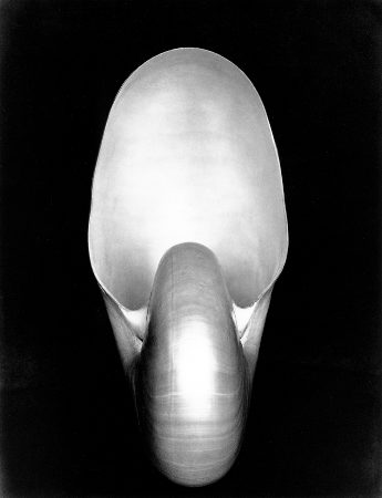 Shell 1S by Edward Weston