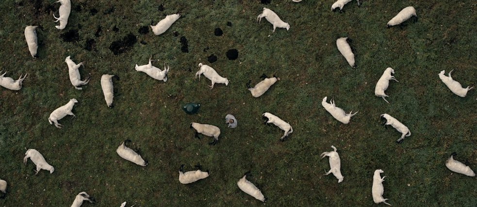 Dark production still: A herd of dead sheep seen from birds eye view