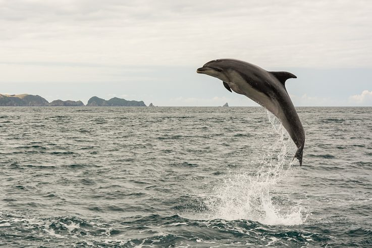 Dolphin, Bay of Islands