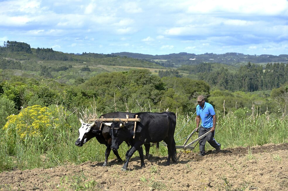 Wood plough and team of oxen: 2015 in the Afro-Brazilian settlement of Quilombo Monjolo, Sao Lourenco do Sul, Rio Grande do Sul
