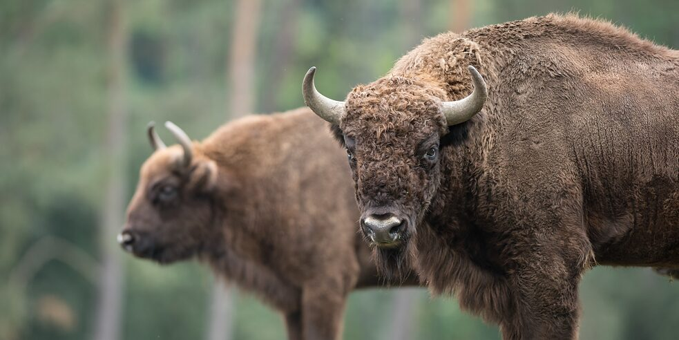 Threatened with extinction not too long ago, European bison are now luring tourists to Bad Berleburg.