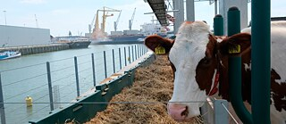 "Thirty-five cows live in a pen on the water on Rotterdam's ""Floating Farm""."