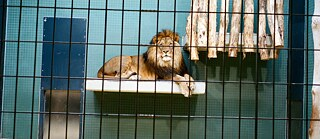 A lion in his cage