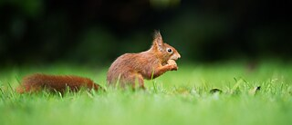 Squirrel eating in a field