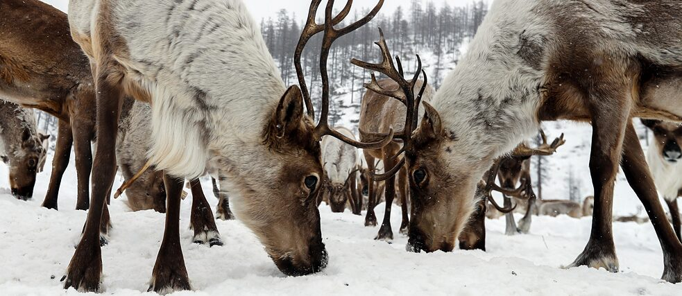 Reindeer on a farm in the Aldansky District, Yakutia.